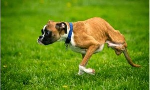 Amazing Dog Having Two Legs But Run Like Wind